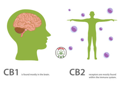Endocannabinoid-System vs. Cannabidiol (CBD)